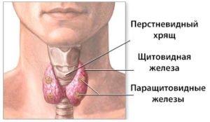 щитовидная железы
