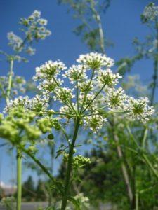 трава болиголов применение при раке