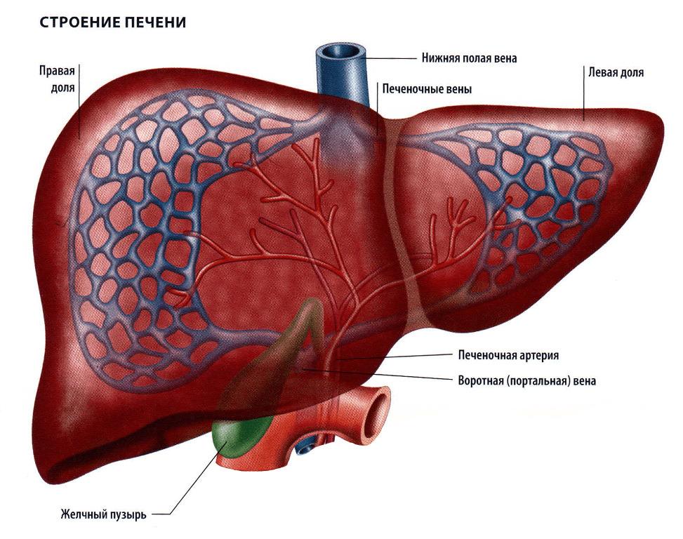 Картинка анатомия печень