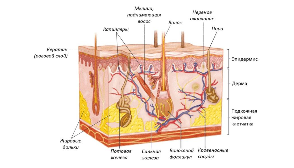 Строение кожи анатомия