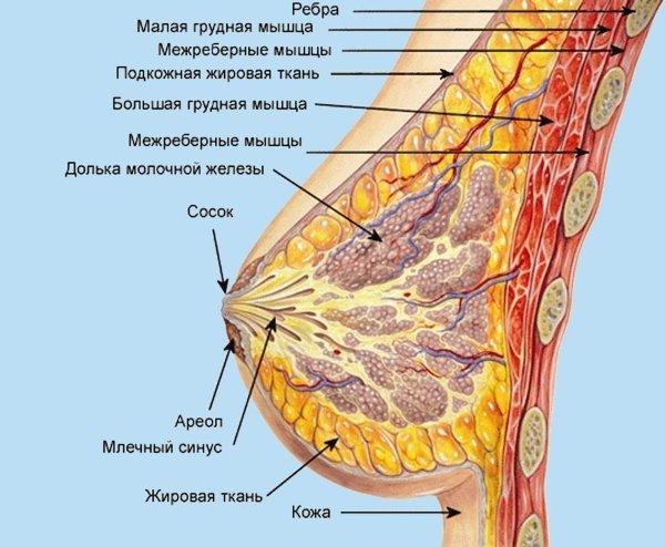 Анатомия молочных желез женщины