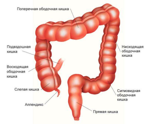 Анатомия толстого кишечника