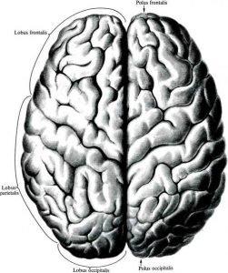 Головной мозг (вид сверху)